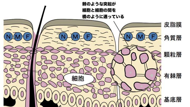 初心者でもわかる皮膚の構造【有棘層とは】   【公式】肌能力回復フェイシャルスタイリストサロンの画像